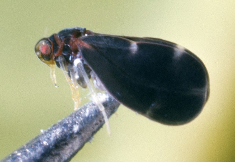 Aleurocanthus woglumi (citrus blackfly); adult, perched on micro-forceps point. USA.