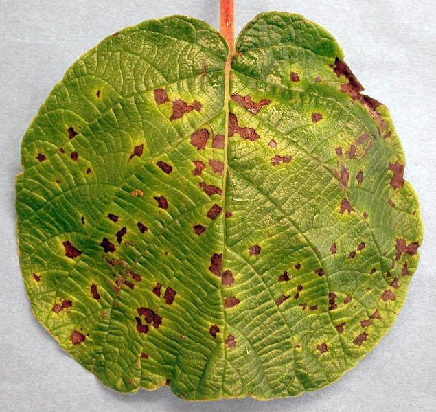 Pseudomonas syringae pv. actinidiae (bacterial canker of kiwifruit); symptoms, showing leafspots.