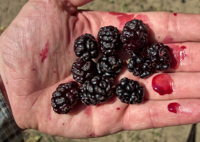 Morus nigra (black mulberry); freshly picked and very ripe fruits in hand. Albania. July 2013.