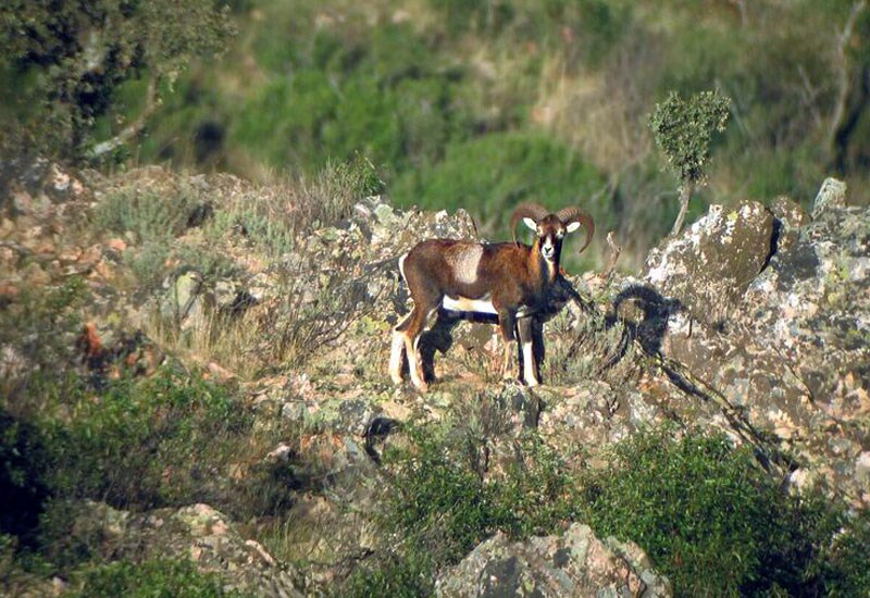 Ovis aries musimon (European mouflon); male, in typical habitat. Hunting estate, Central Spain.