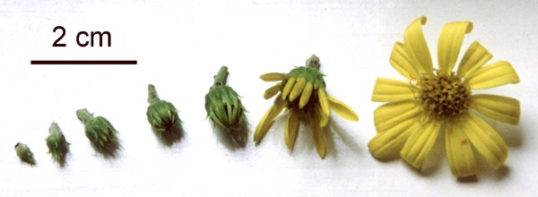 C. monilifera (ssp. rotundata); the seven flower-bud stages commonly take 7-10 days to develop. Each ray-floret of a stage seven flower is a potential fruit.