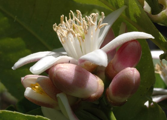 Citrus medica (citron); flowers, open and opening. Flowers are ca.3-4cm in diameter.