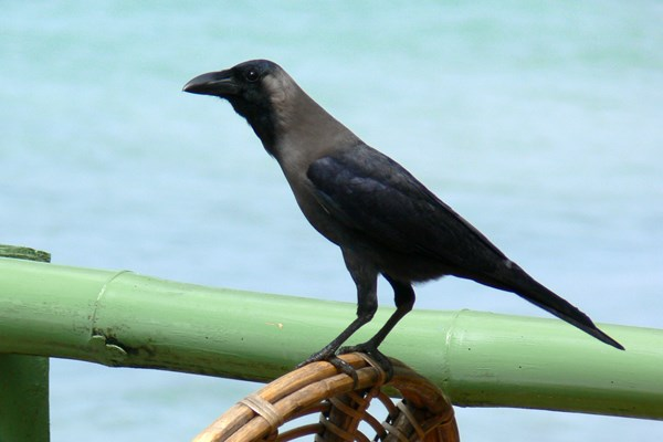 House Crow in Kerala, South India, race Corvus splendens protegatus