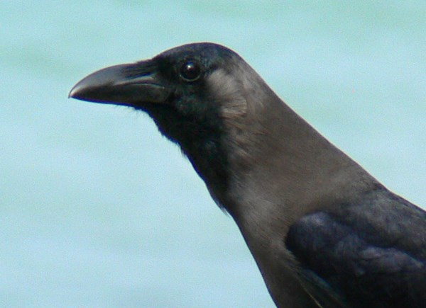 Close-up of House Crow in Kerala, South India, race Corvus splendens protegatus