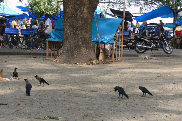 House Crow in town square in Kochi, Kerala, South India, race Corvus splendens protegatus