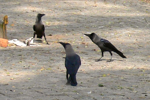 Close-up of House Crows in town square in Kochi, Kerala, South India, race Corvus splendens protegatus.