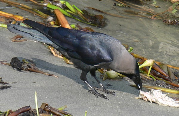 Close-up of House Crow eating fish waste on seashore in Kochi, Kerala, South India, race Corvus splendens protegatus.