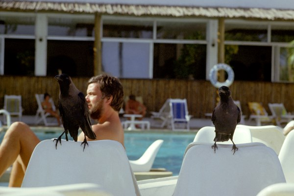 Corvus splendens perched on chairs by a swimming pool. Mombasa, Kenya.