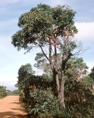 Tree habit of mature C. ficifolia