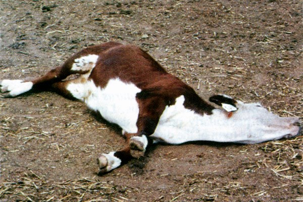 A bovine with cowdriosis in lateral recumbancy with extended legs