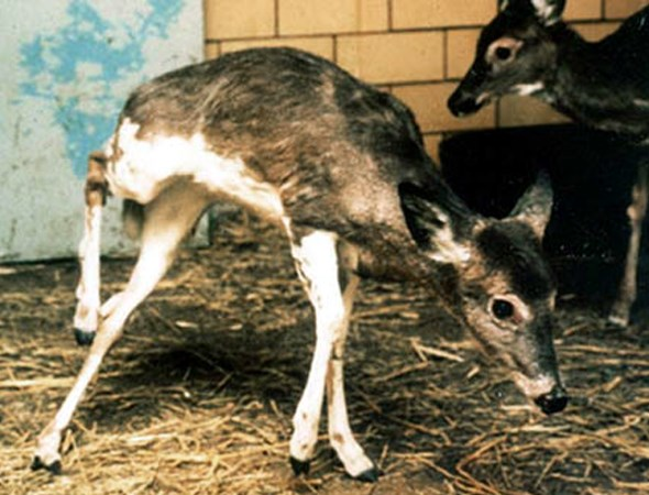 Deer with signs of a central nervous system disturbance.