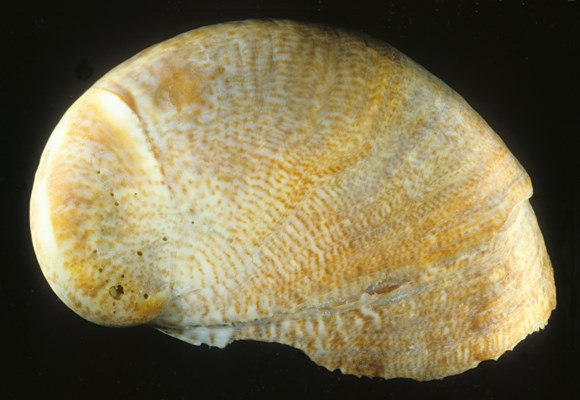 Single shell of a slipper limpet, showing right side of an adult.
