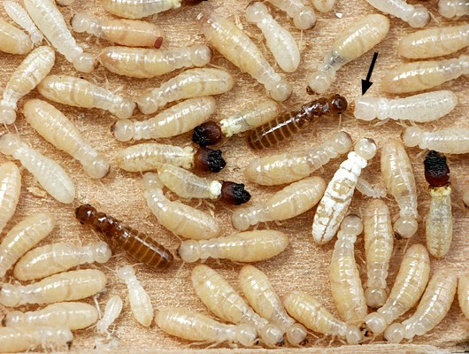 The soldiers have black head capsules, the reproductives have brown bodies, and the pseudergates are cream. The small white individuals are larvae. A subsoldier is shown (arrowed) to the right of a reproductive.