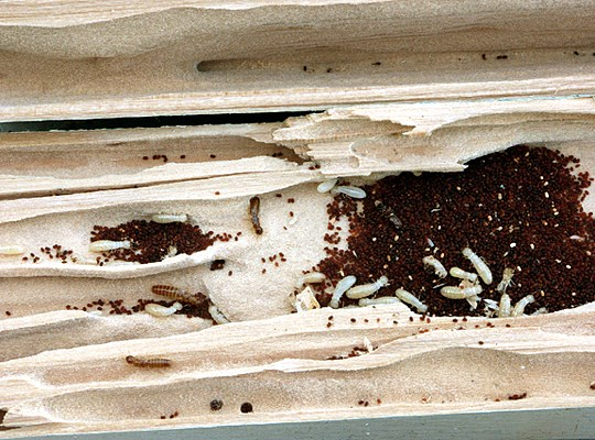 Structural wood member (Pinus sp.) split open to expose C. brevis nestmates, galleries, and faecal pellets.