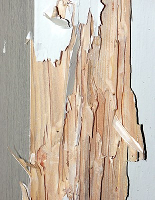 Painted door frame with galleries exposed to show extent of C. brevis damage.