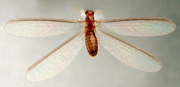 Winged reproductive (alate) of C. brevis floating on the surface of water.