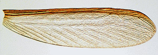 Right forewing of C. brevis showing the intersection of the median vein with the costal margin.