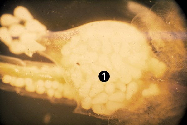Uterus of ovoviviparous Artemia filled with nauplii (first larvae are being released). (1) ovary with eggs.
