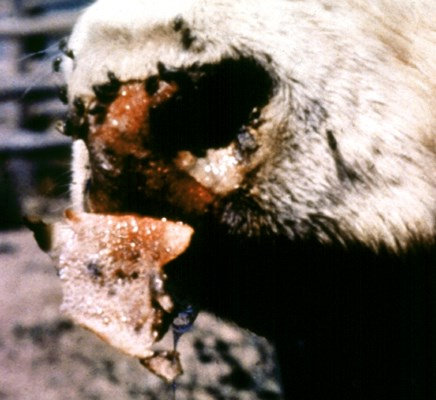 A cow infected with bluetongue virus: 'burnt muzzle' - a result of necrosis of the muzzle epithelium.