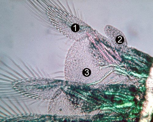 Detail of anterior thoracopods in adult Artemia. (1) exopodite; (2) telopodite; (3) endopodite.
