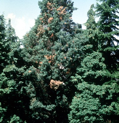 Tree infected with Seiridium cardinale. C. arizonica var. arizonica is more susceptible to infection than C. arizonica var. glabra.