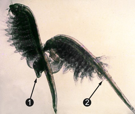 Artemia couple in riding position. (1) uterus; (2) penis.