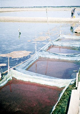 An artisanal salt/Artemia farm (Vietnam). Artemia biomass is collected in floating nets in the evaporation ponds.