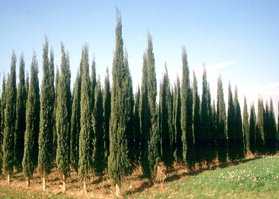 'Bolgheri' - a patent cypress variety resistant to S. cardinale.