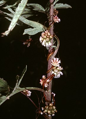C. europaea flowering on Artemisia vulgaris. Bhutan, 1991.
