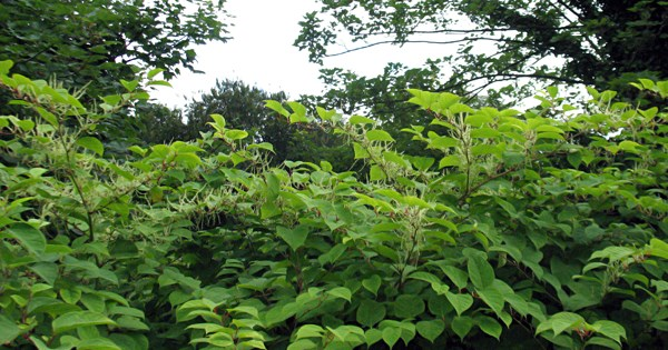 Fallopia japonica (Japanese knotweed); infestation on the banks of the River Lee, near the University College Cork campus, Ireland. 05 August 2008.