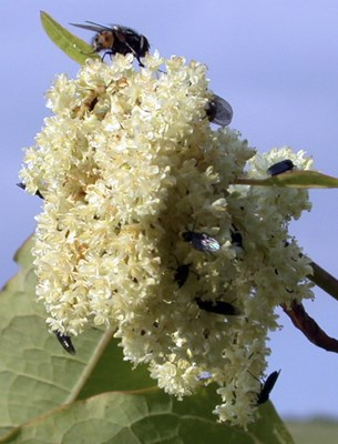 Fallopia sachalinensis (giant knotweed); flower. Note various Dipterans on florets.