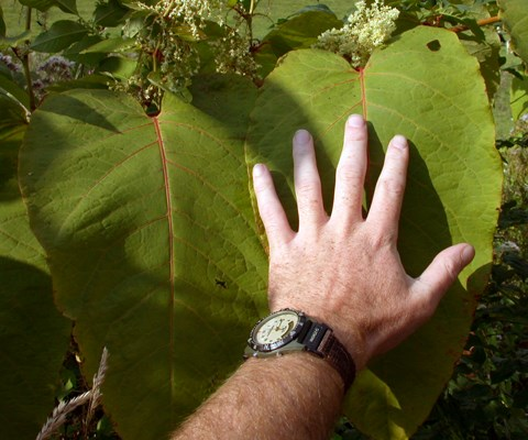 Fallopia sachalinensis (giant knotweed); leaf with hand for scale.