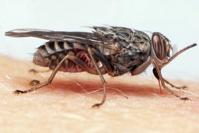 Glossina; adult tsetse fly on human skin, with mouthparts inserted and feeding.