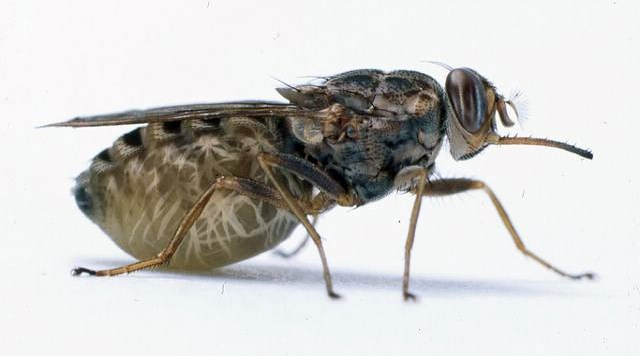 Glossina; engorged adult tsetse fly.