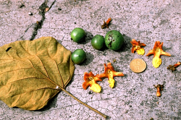 Green fruits (drupe) with aborted flowers of cordate leaf blade of Gmelina arborea growing at Bidor. Perak in December 1997. The diameter of the coin is 2.4cm.