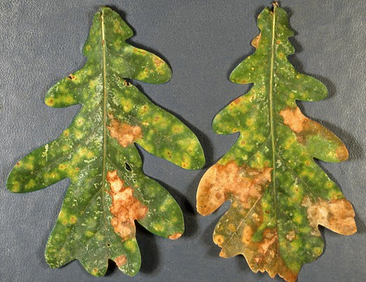A. quercina spots on Quercus cerris (Turkey oak) leaves. The spots are red-brown, irregular and limited by leaf veins.