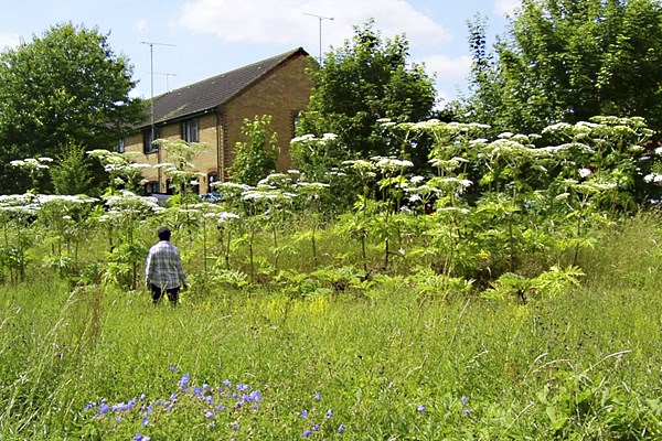Heracleum mantegazzianum (giant hogweed); urban infestation showing typical habit. (Note person for scale) Stevenage, Hertfordshire, UK.