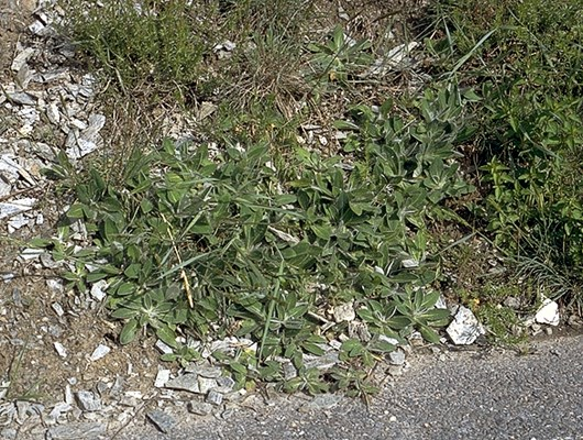 Typical patch of P. officinarum.