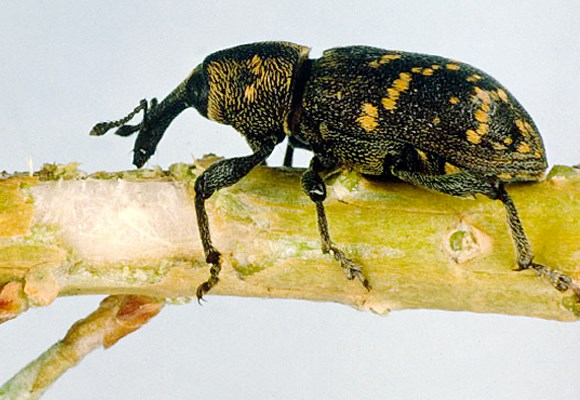 Adult weevil.