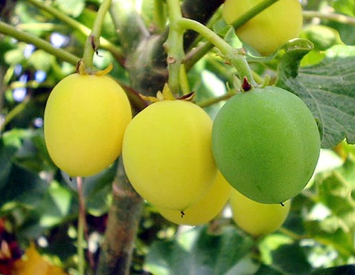 Jatropha curcas (jatropha); immature green and maturing yellow fruits.