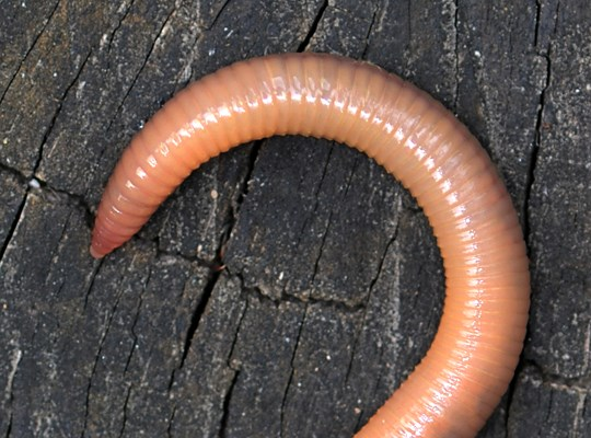 Lumbricus terrestris: close-up of posterior sections.