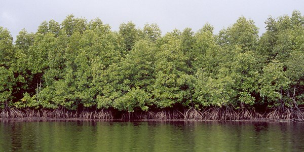 An intact mangrove forest dominated by silt-rooted Rhizophora trees in Cambodia.