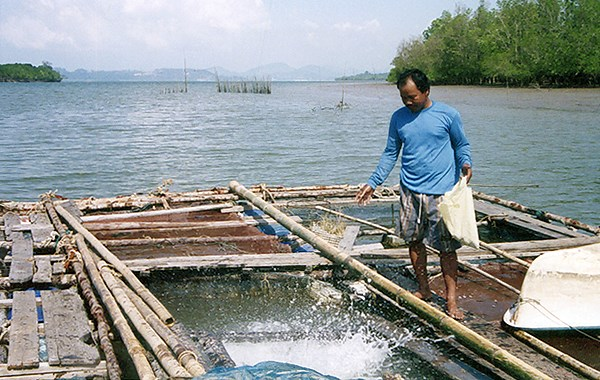 Feeding caged groupers in a mangrove-fringed estuary in southern Thailand. The grouper are caught as fingerlings using baited traps.