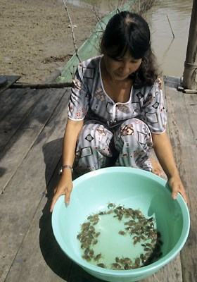 Mud crab seed caught in mangrove channels ready for stocking in mangrove-aquaculture ponds in the Mekong Delta, Vietnam.