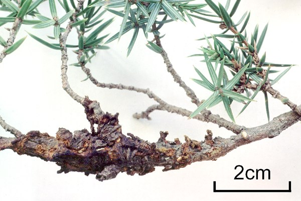 Old perennial canker on Juniperus oxycedrus.