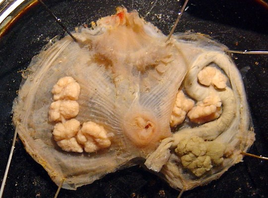 Dissected individual of M. squamiger, with branchial sac removed to show gut and gonads.