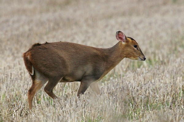 Muntiacus reevesi (Reeves' muntjac); female muntjac in stubble field showing colouring in summer coat. Note the distinctive 'fat' tail