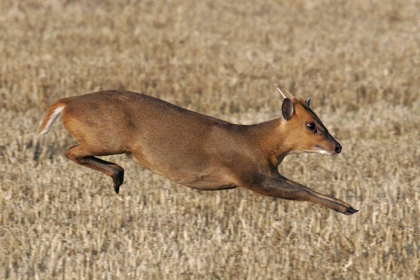 Muntiacus reevesi (Reeves' muntjac); running muntjac have a distinctive 'springing' gait. Note the simple, unbranched, antlers of this young male.