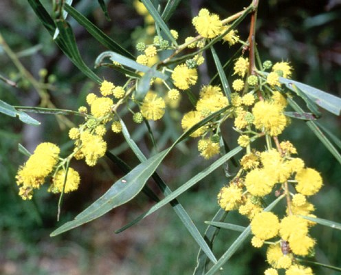 Flowering branch of Acacia saligna showing shrubby habit.  Cape Riche, Western  Australia.