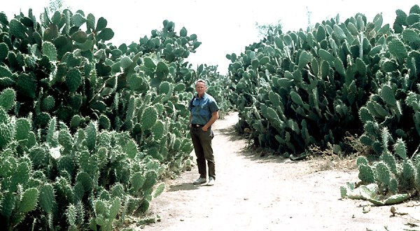 Opuntia ficus-indica (prickly pear); dense infestation in Tigray, northern Ethiopia.